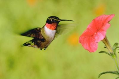 Homeschool Lessons from Nature:  Hummingbirds are like Teenage Girls!