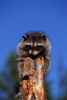 Homeschool Lessons from Nature: Raccoons Homeschool Their Young!